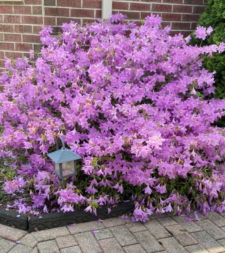 Lulet-e-azalea-s-janë-rritur-mjaft-mirë